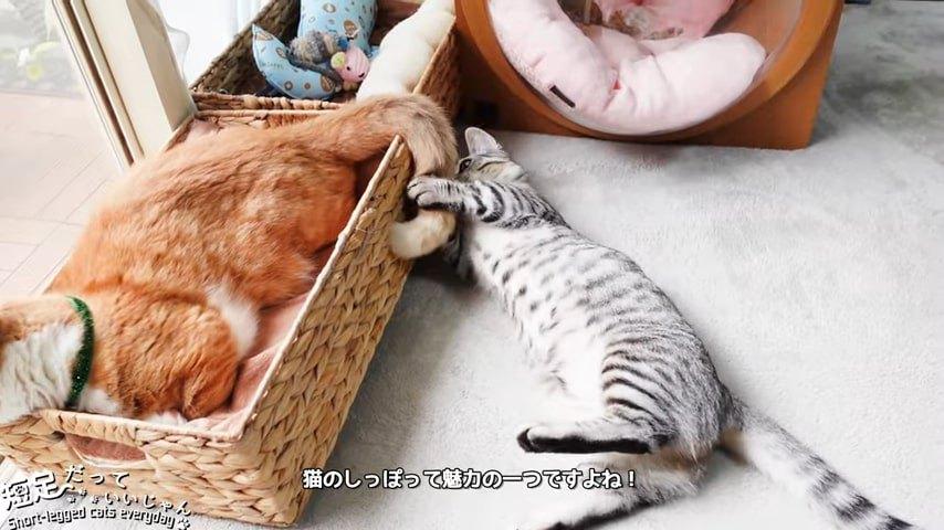 茶色の猫のしっぽで遊ぶ子猫