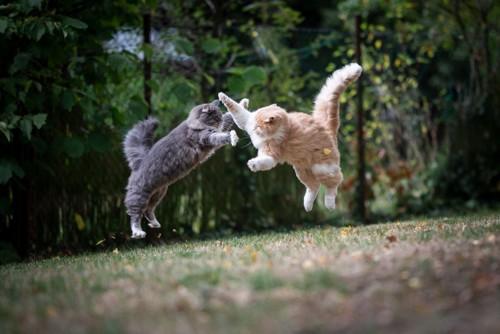 ジャンプする2匹の猫