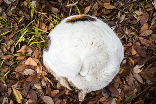 落ち葉の上で丸まって眠る猫