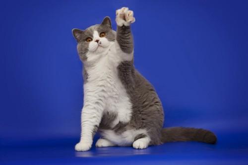 白黒の左手を上げる猫