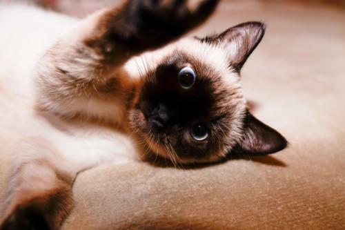 パンチしようとする猫