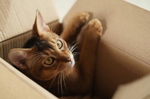 段ボールに爪をかける猫