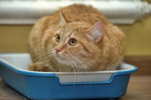 猫用トイレにうずくまる茶トラ猫