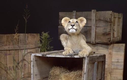 箱の上に居るライオン