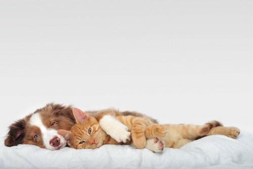 ベッドで一緒に寝転ぶ犬と猫