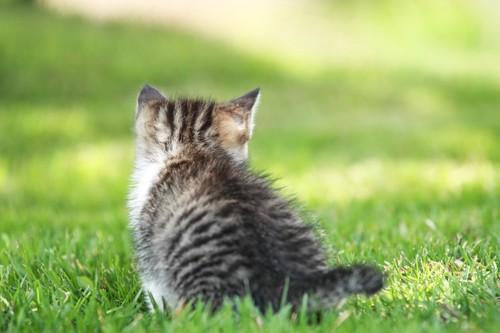 後ろ向きのふわふわの子猫