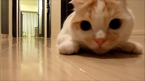 伏せの姿勢で目を丸くしている猫