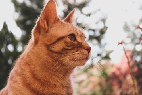 見つめている猫
