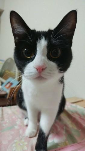 まんまるな瞳のハチワレ猫