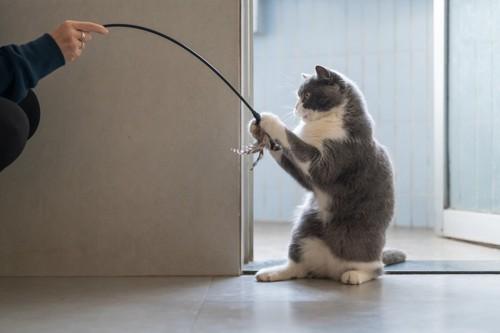 猫じゃらしをつかむ猫