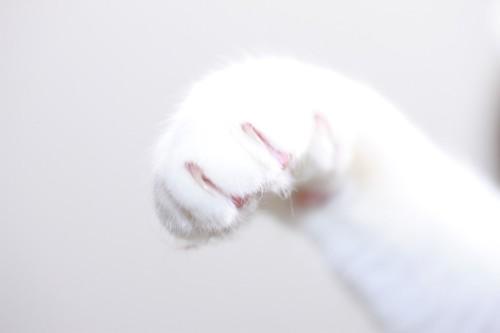 白猫の手アップ