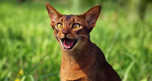一生懸命に鳴く猫
