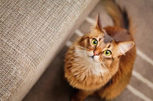 ソファーの横に座ってこちらを見上げているソマリ