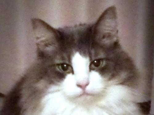 ハチワレの猫の正面