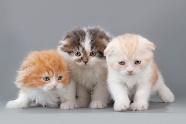 スコティッシュフォールドの子猫3匹