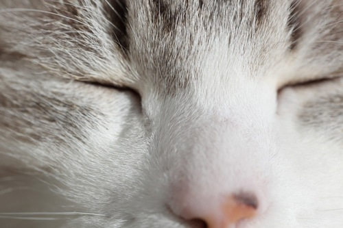 目を閉じる猫のアップ