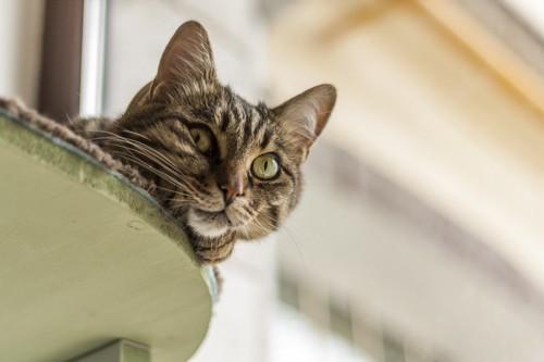 覗き見しているキジトラ猫
