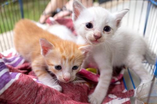ケージ中の二匹の子猫