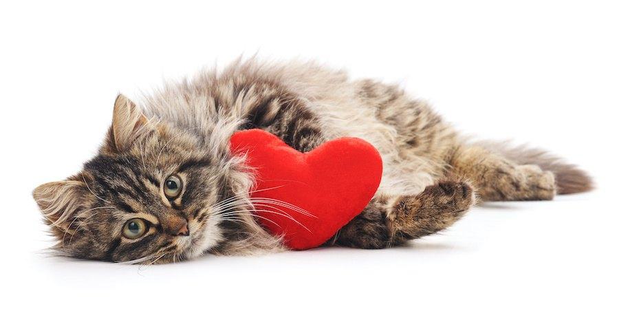 ハート形のミニクッションを抱える猫