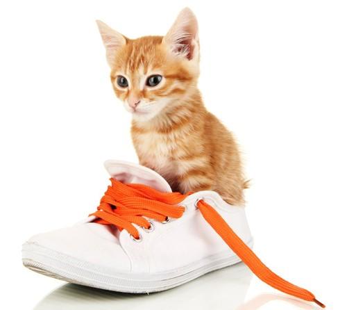 靴の中に入って座る子猫