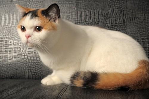 キャリコの猫
