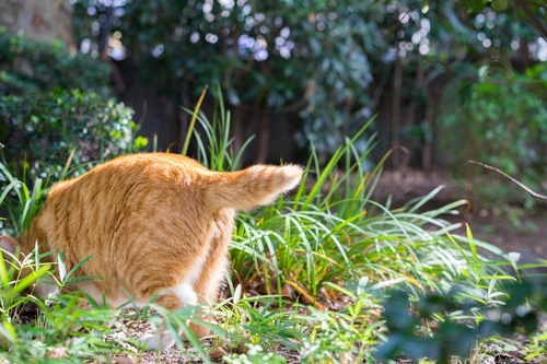 しっぽを見せる後ろ向きの猫
