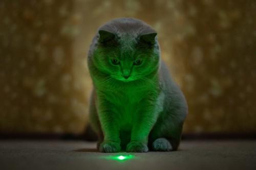 レーザーポインターを見る猫