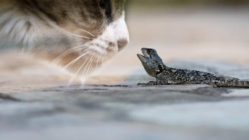 見合う猫と爬虫類