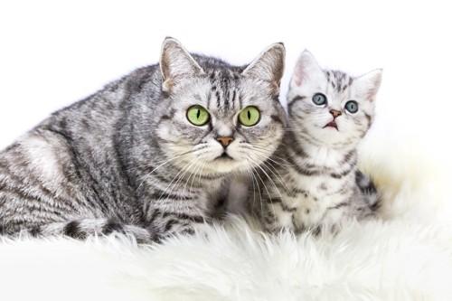 親子の鯖トラ猫