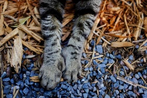 多指症の前足