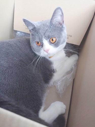 段ボール箱に入ってくつろぐハチワレ猫
