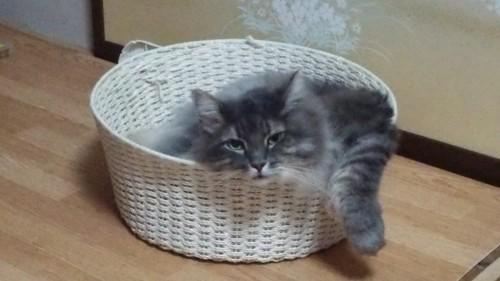 カゴの中で腕を出す猫