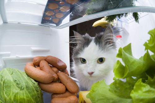 冷蔵庫をのぞくハチワレ