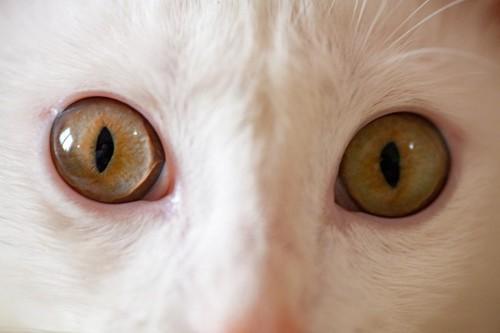 アルビノの白猫