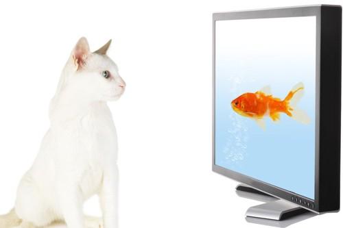 テレビに映る魚を見つめる猫