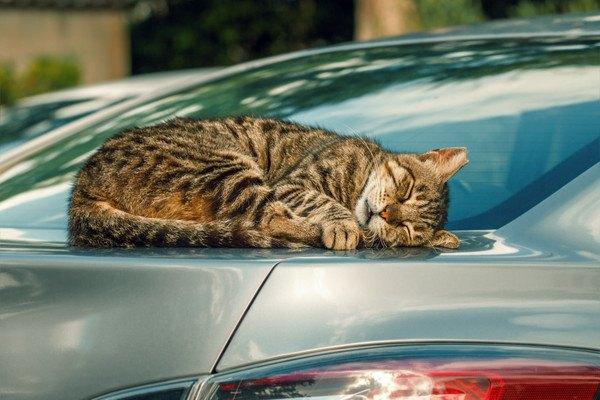 車の上で寝る猫