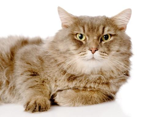 白背景でこちらを見る猫