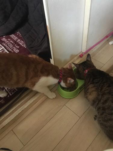 ご飯を食べるキジトラと茶トラ白