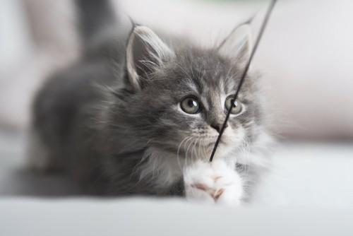 紐をつかんで遊ぶ子猫