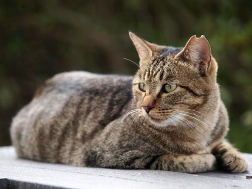 耳が欠けたキジトラの猫