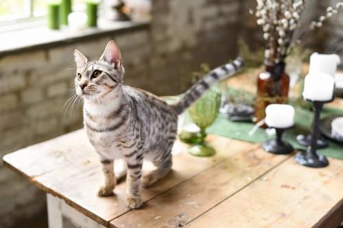 テーブルの上にいるサバンナキャットの子猫