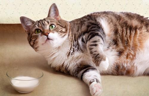 寝そべる肥満の猫とミルク