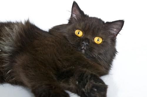 寝転んでこちらを見る黒いペルシャ猫