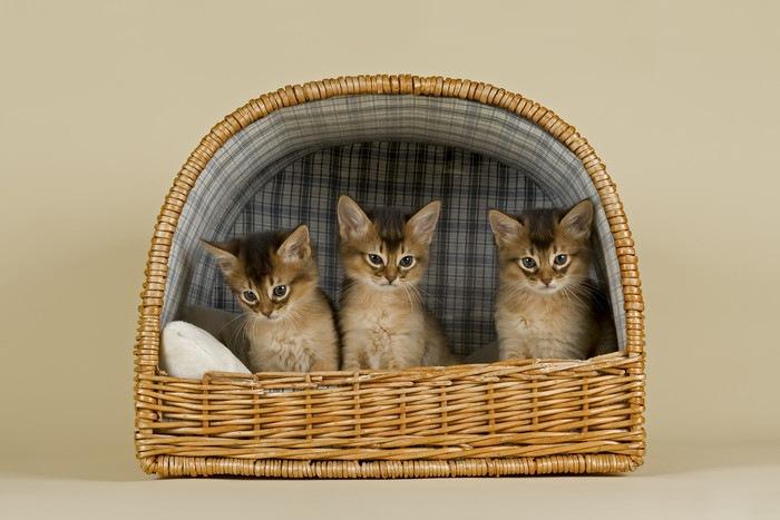 カゴに入っている3匹のソマリの子猫