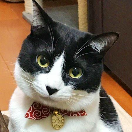 白黒ハチワレ猫顔アップ