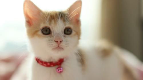赤い首輪をつける子猫