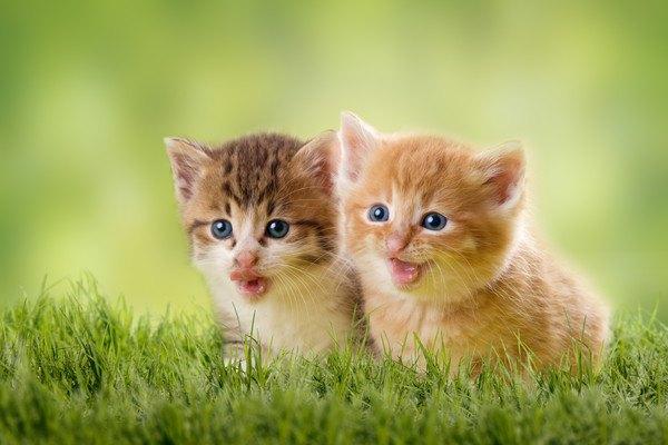 何かを見つめるシンクロ子猫