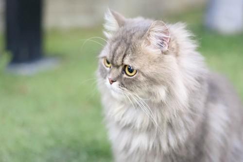 遠くを見るペルシャ猫