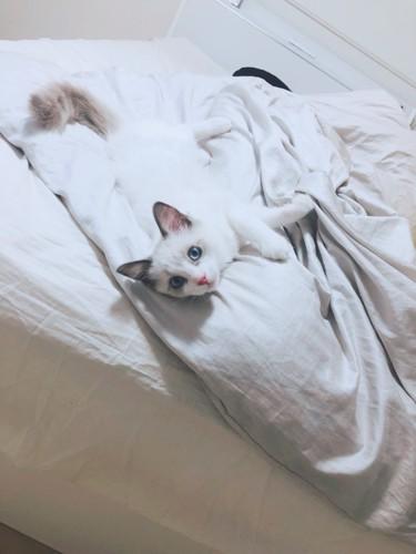ベッドの上で寝転んでこちらを見る子猫
