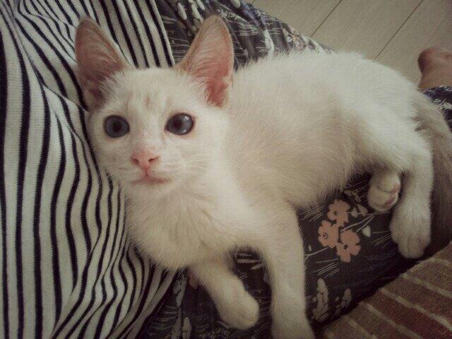 小さな白い子猫小太郎